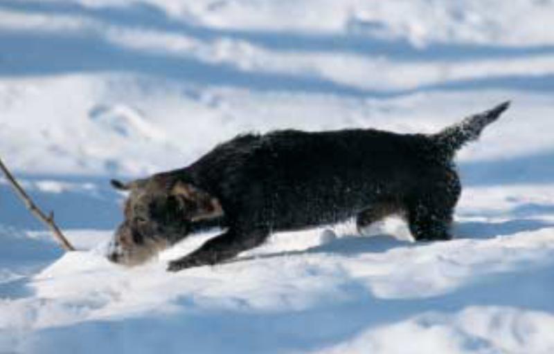 Teckel in Schnee