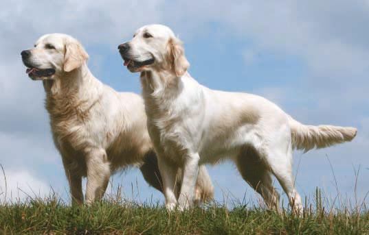 Die Retriever Im Apport Unschlagbar Wild Und Hund
