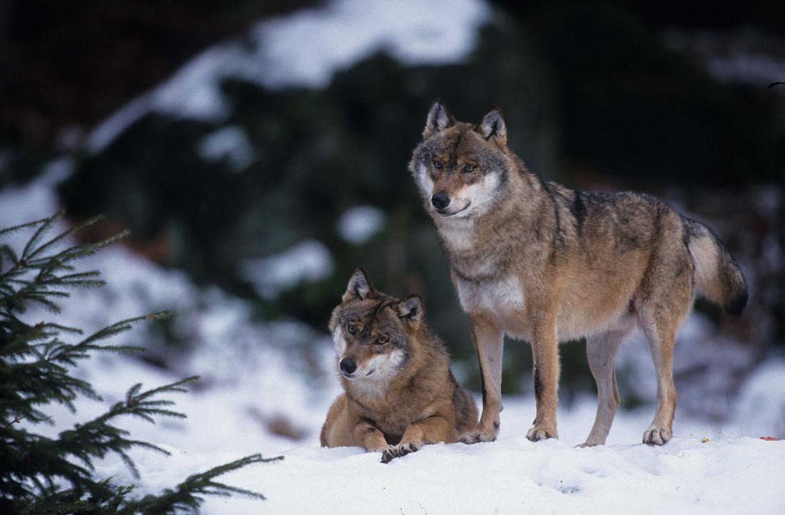 Wölfe Im Allgäu