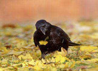 Krähenvögel