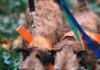Rasseporträt Westfallenterrier