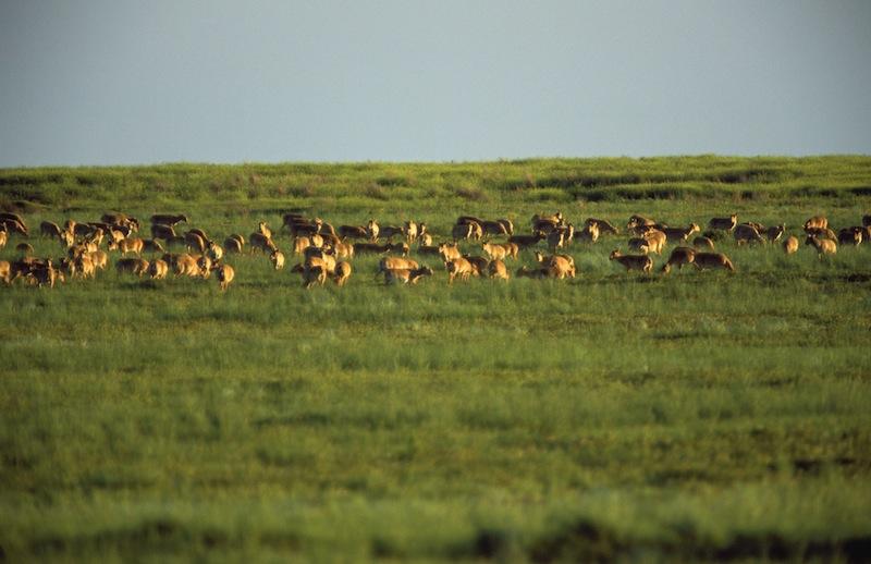 Saiga-antilopen