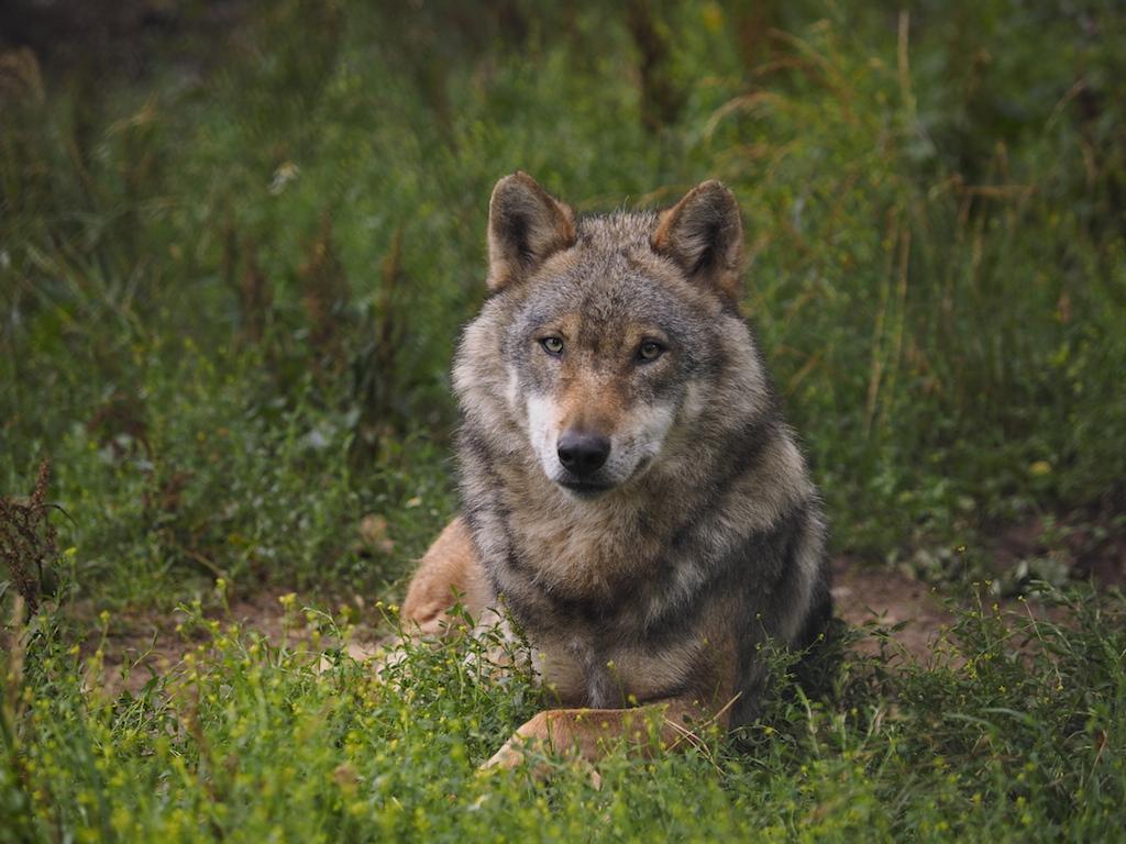 Niedersachsen Wölfe Haben Räude Wild Und Hund