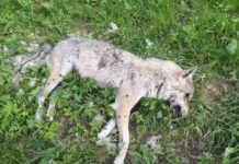 Wolfskadaver