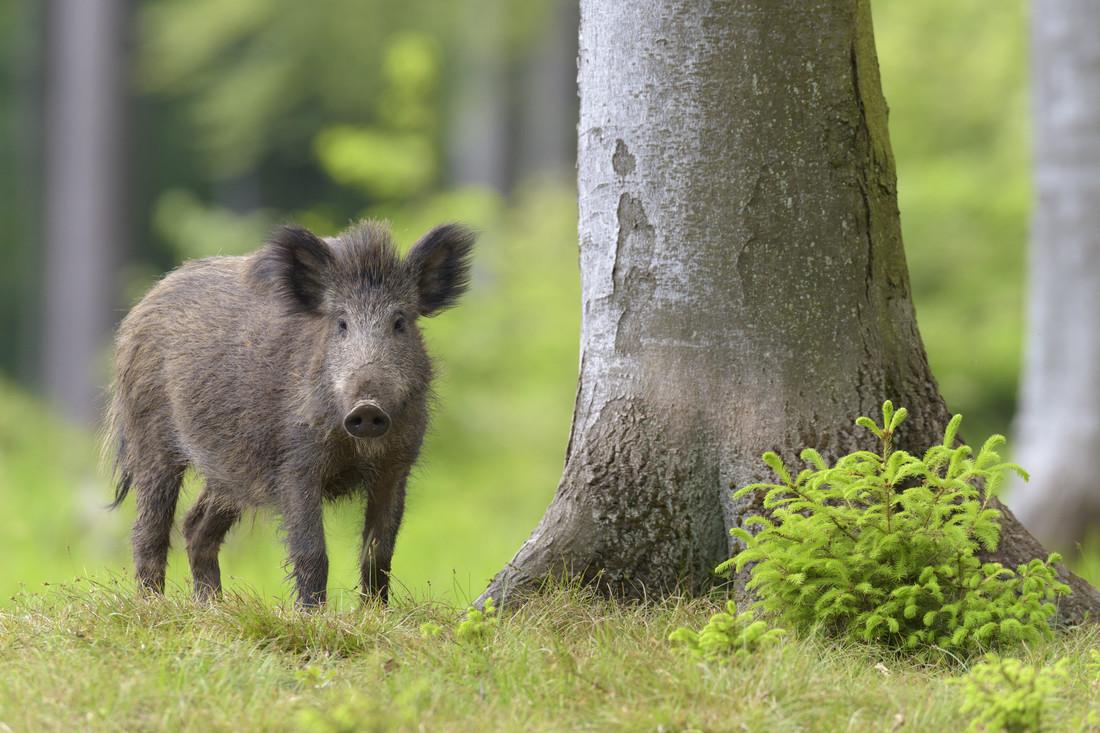 Schweinepest kommt immer näher