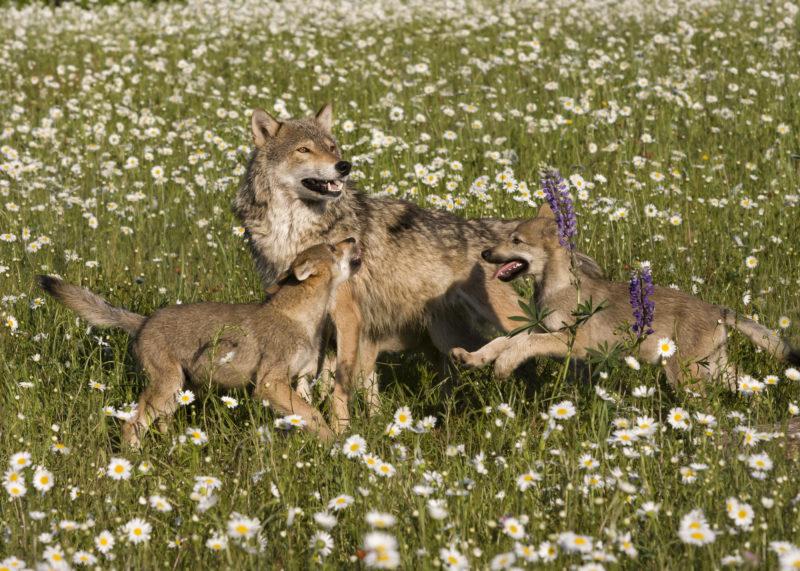 Erstmals Wolfswelpen in Dänemark