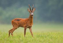 Rehwild-Jagdzeit ausgeweitet
