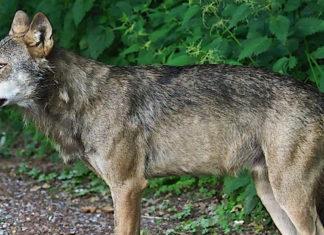 Schluchsee-Wolf wurde erschossen