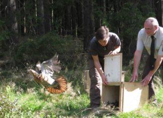 Erster Nachweis einer Auerhahn-Wildbrut