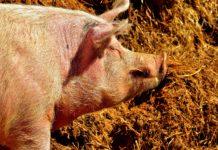 In Russland wurden 15000 Schweine gekeult