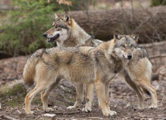 Wolf Jagdrecht