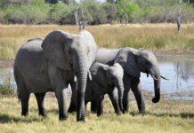 Einfuhr afrikanischer Jagdtrophäen