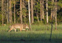 Wolf Bayerischer Nationalpark