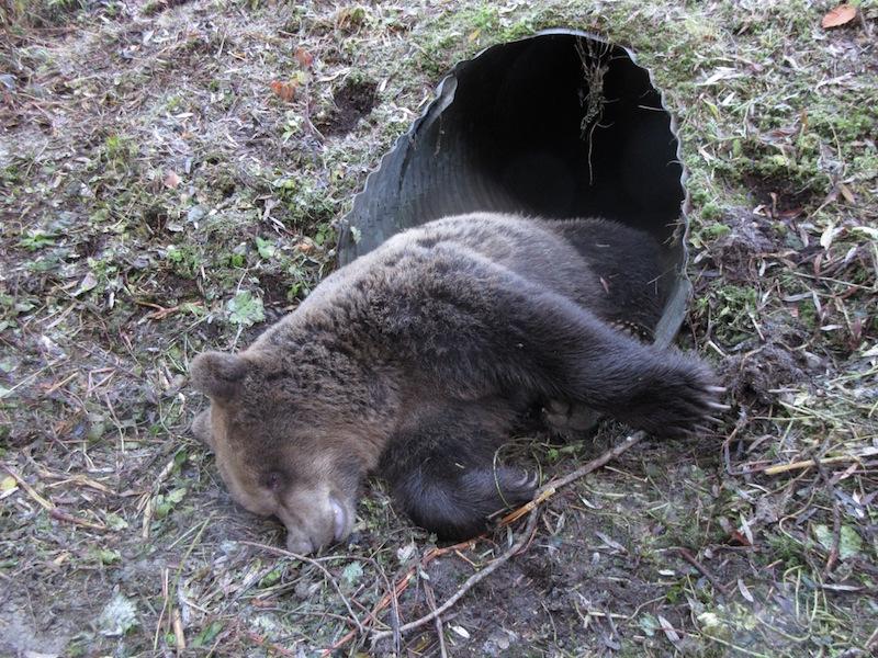 200 Kilo Bär Verendet Nach Unfall Wild Und Hund