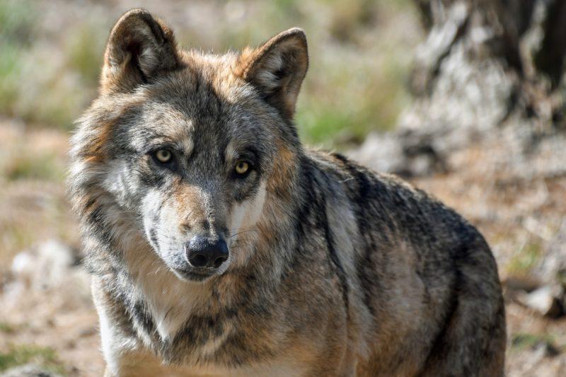 Obergrenze für Wolfsschäden aufgehoben