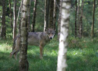 Erschossener Wolf kam aus Cuxhaven