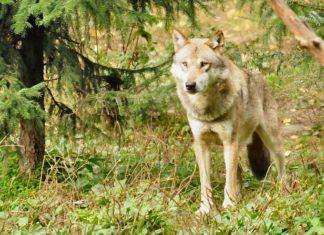 Anklage gegen Wolfswilderer im Wallis