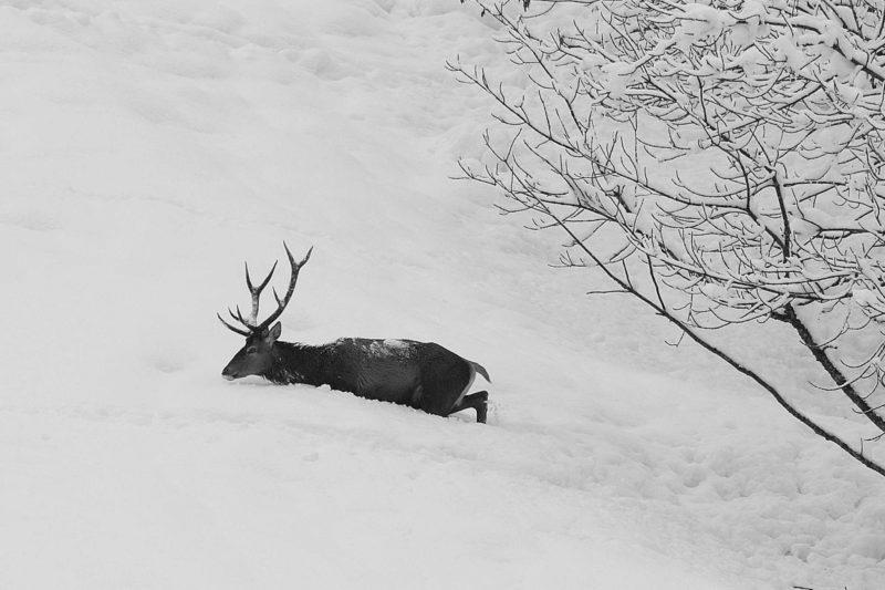 Rothirsch im Schnee
