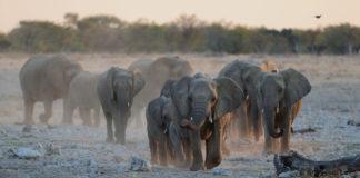 Elefanten nehmen zu