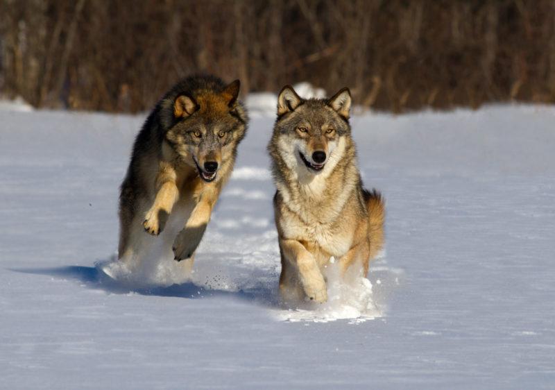 Wölfe hält Landesregierung in Atem