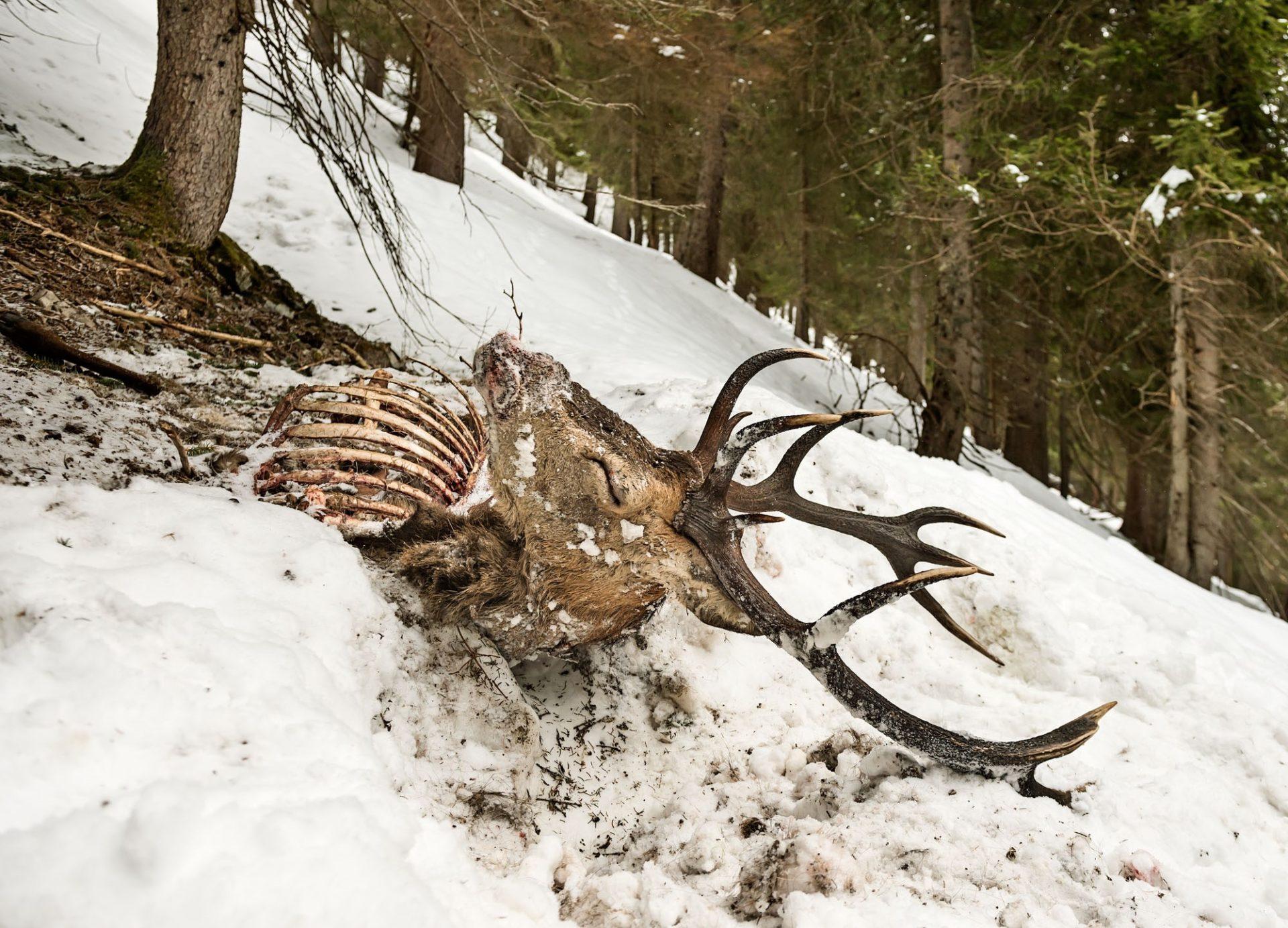 Hirsche verhungert