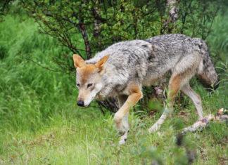 Wolf überfahren