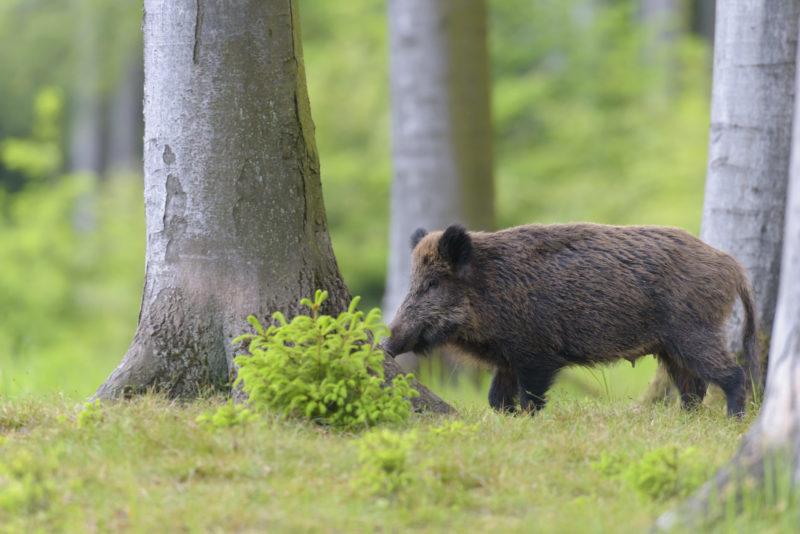 Schwarzwild Wildschwein