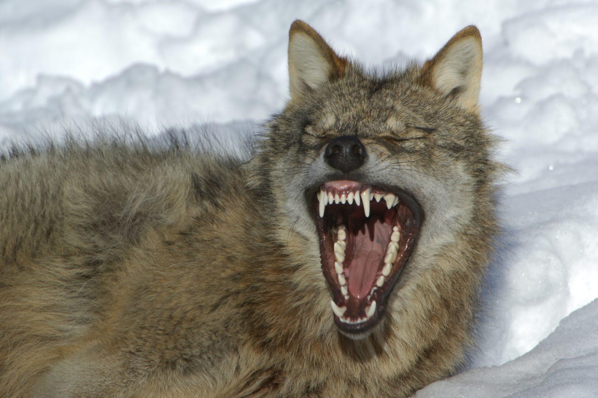 TH: Weiter Jagd auf Wolfshybriden