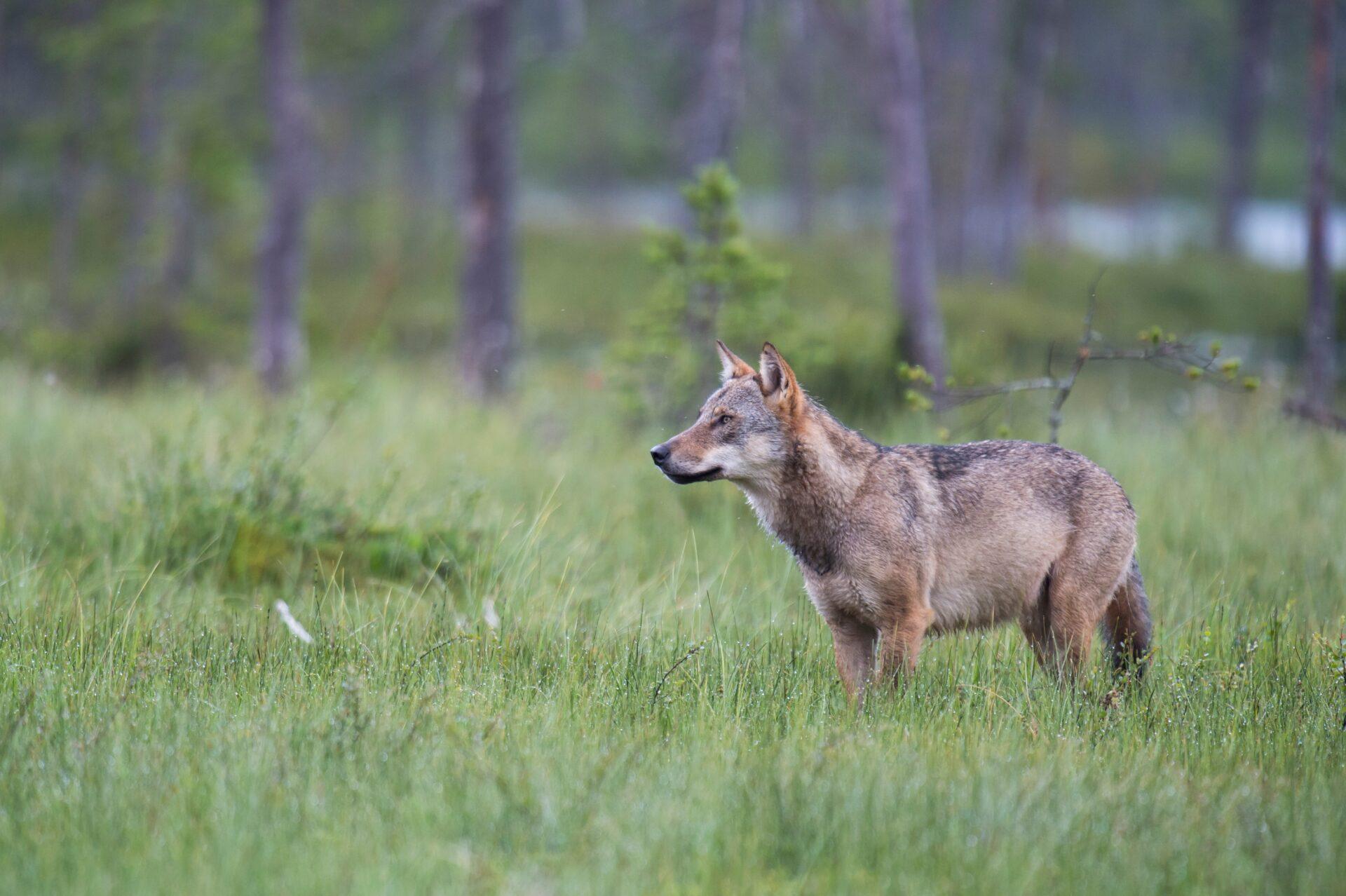 Schleswig-Holstein: Wolfspräventionsgebiet wächst - WILD UND HUND