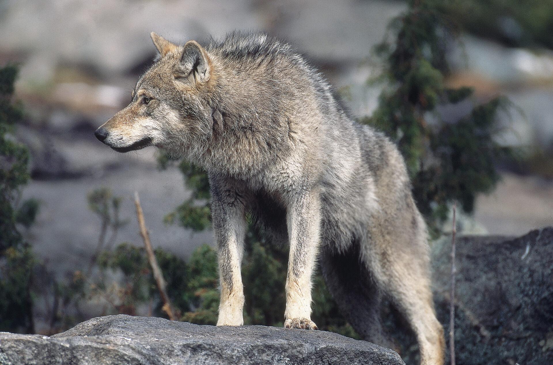 Sachsen-Anhalt: 82 % der Bevölkerung wollen den Wolf regulieren - WILD UND HUND