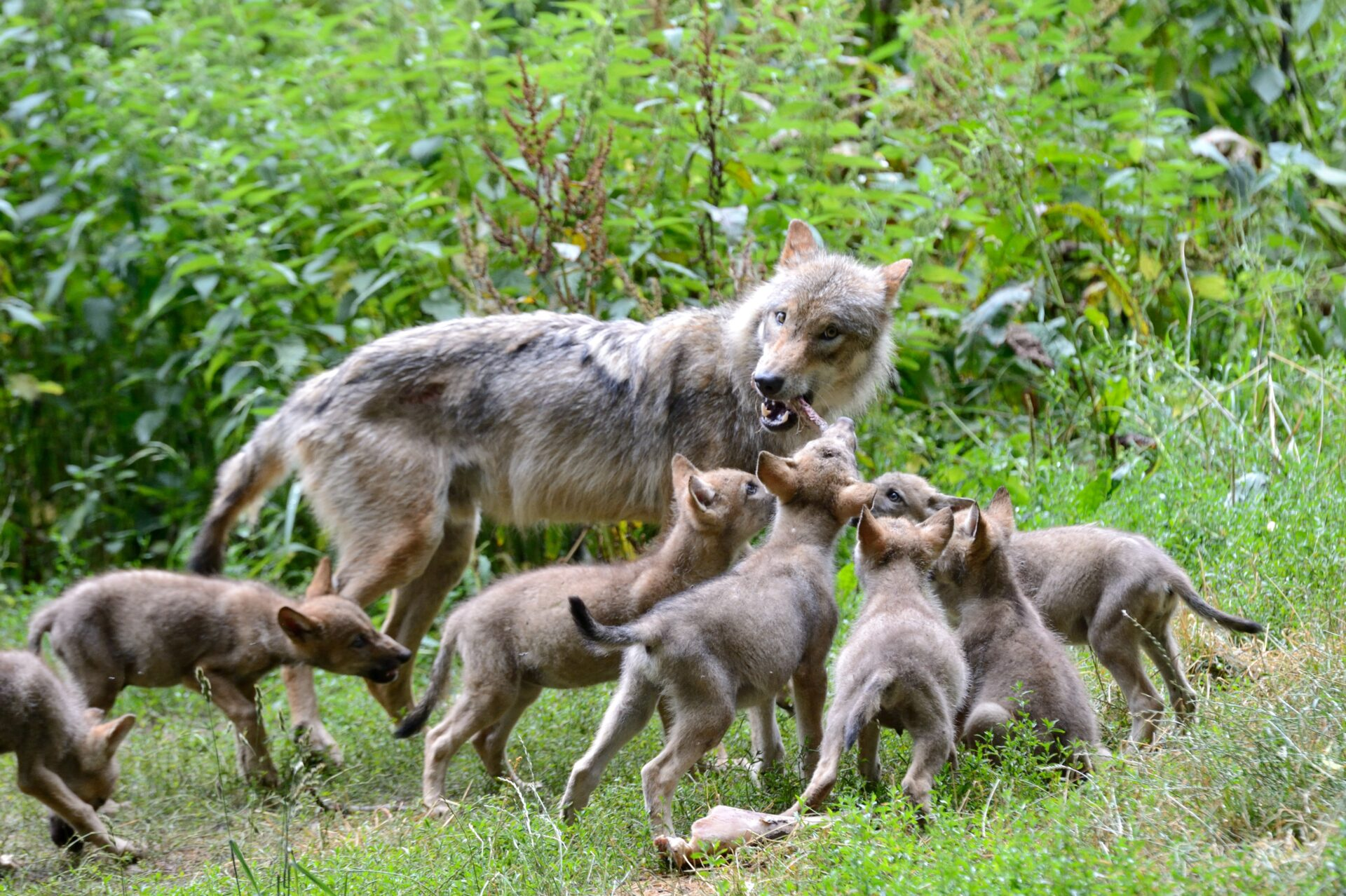 Thüringen: Wölfin hat erneut Mischlings-Nachwuchs - WILD UND HUND