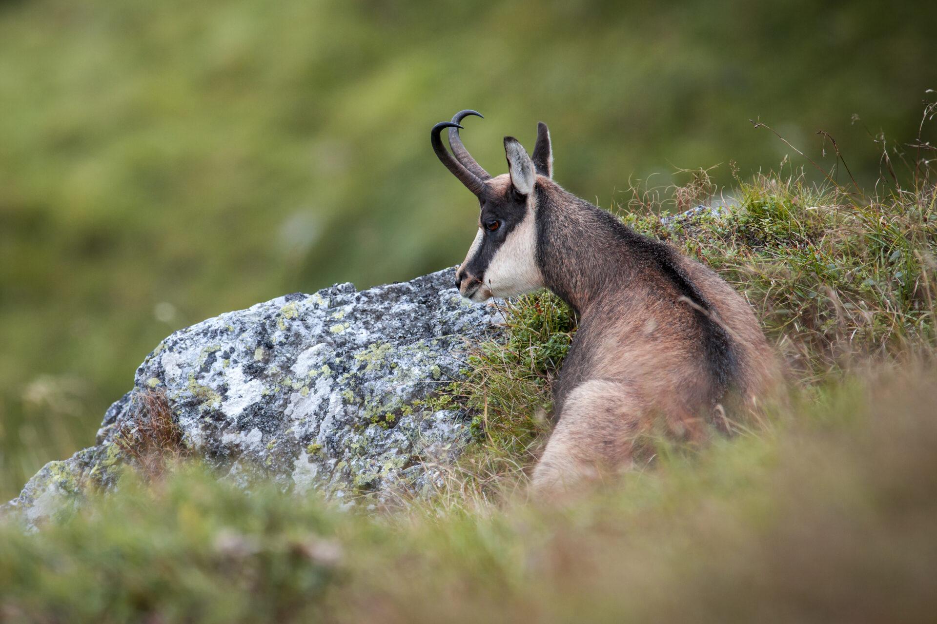 Bayern: Tierschutz-Beschwerde bei der EU für die Gams - WILD UND HUND