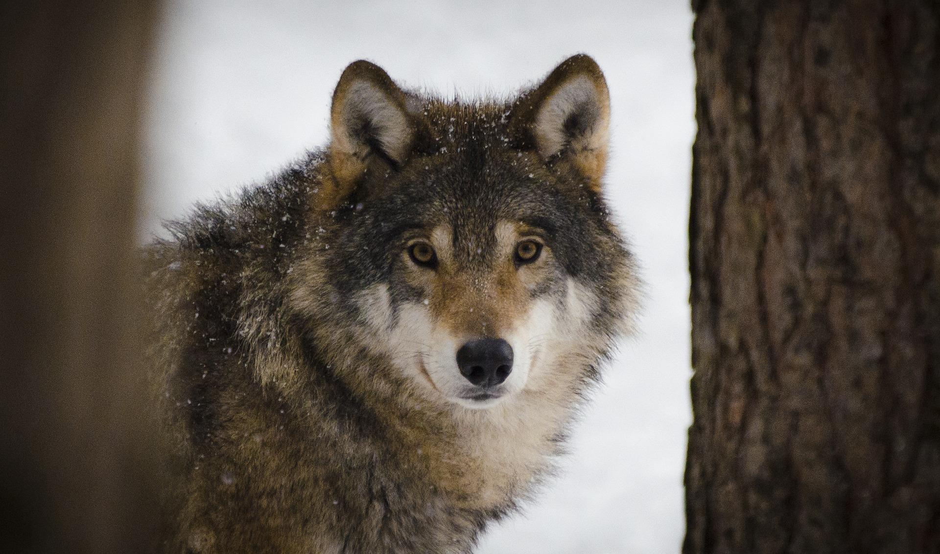 Graubünden: Neues Wolfsrudel muss vergrämt werden - WILD UND HUND