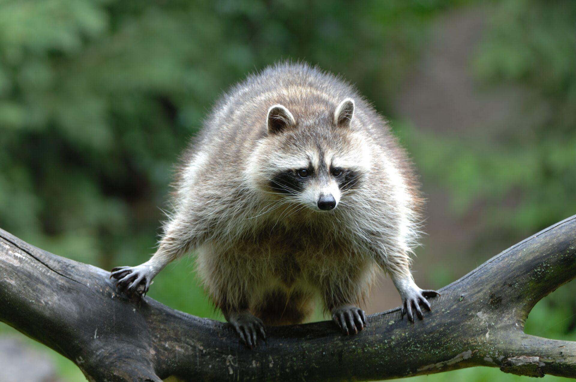 Waschbär auf einem Ast Jagd