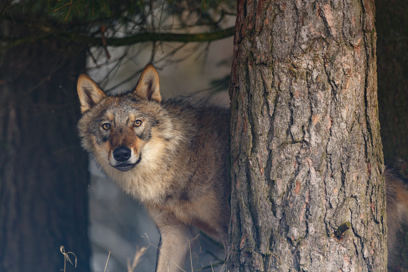 Ein Wolf guckt hinter einem Baum hervor