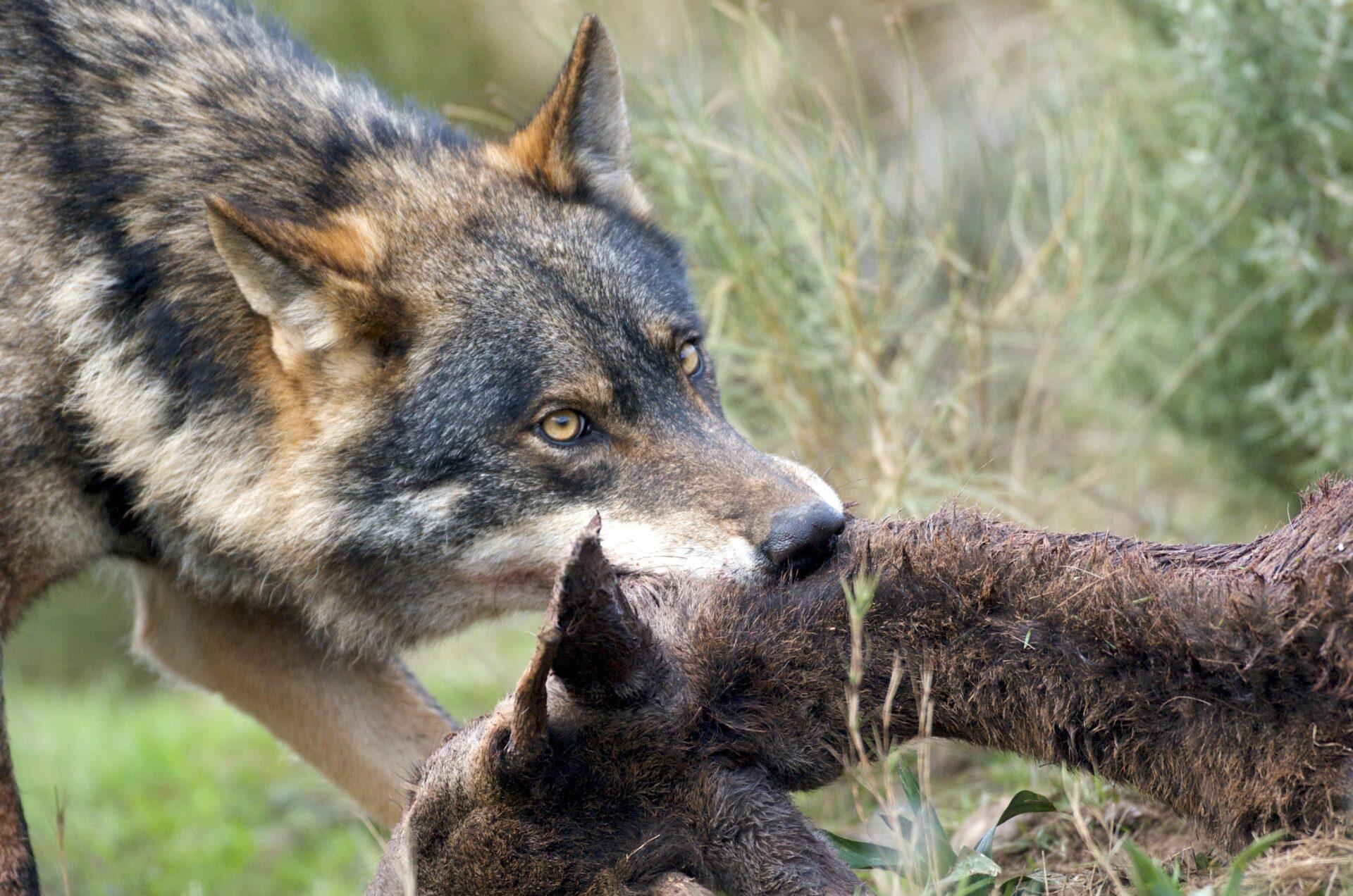 Brandenburg: Wolf macht Jäger die Beute streitig - WILD UND HUND