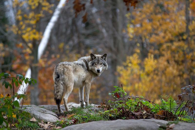 Wolf steht auf einem Stein im Wald
