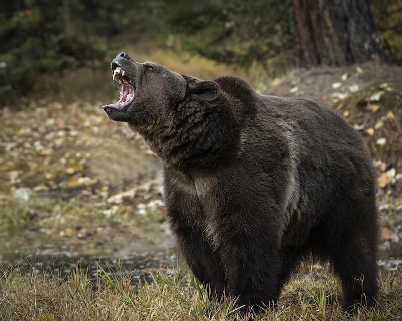Grizzly mit aufgerissenem Maul