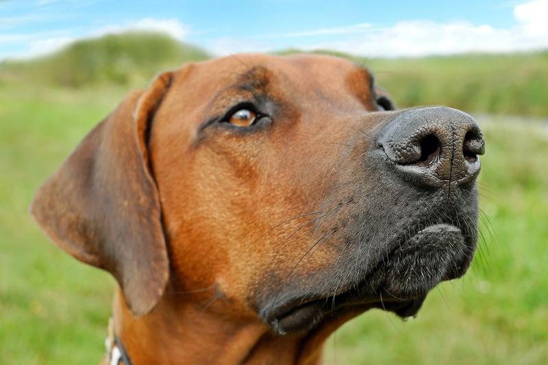 ASP: Sachsen setzt Kadaverspürhunde zur Fallwildsuche ein - WILD UND HUND