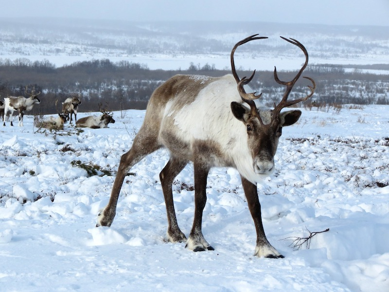 Ein Rentier steht im Schnee