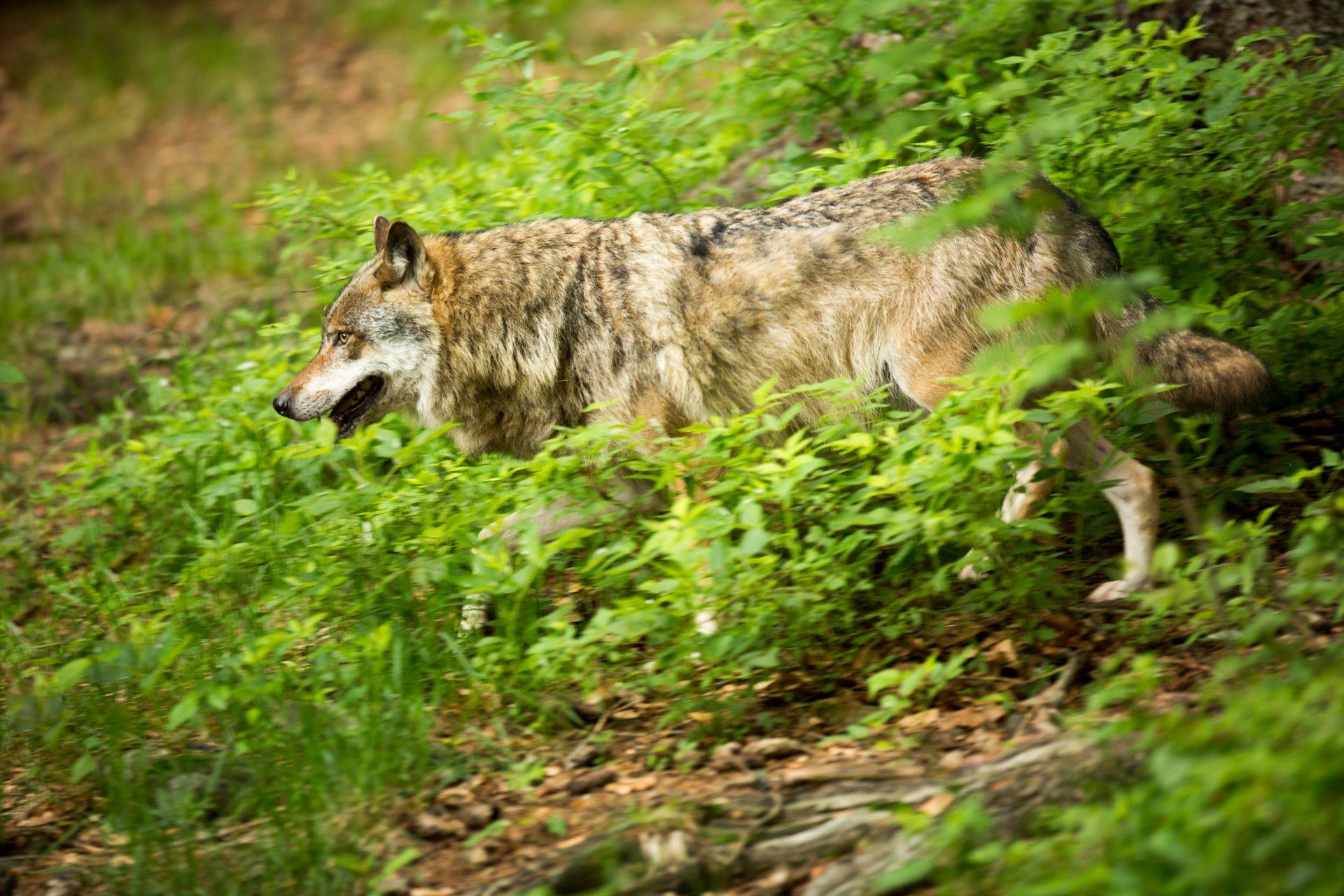 Umweltminister Lies kritisiert Verweigerungshaltung der Grünen beim Wolf - WILD UND HUND