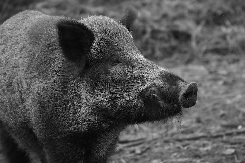 Nahaufnahme eines Wildschweins in Schwarz Weiss