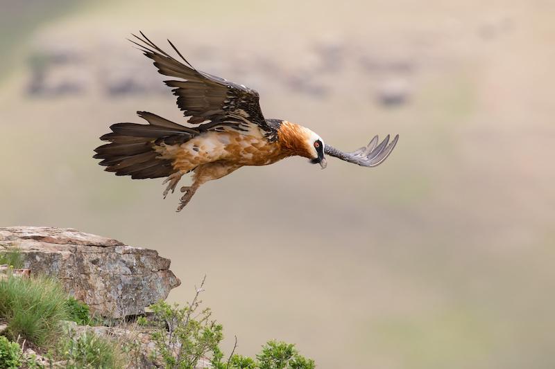 Bartgeier fliegt kurz über dem Boden im Gebirge