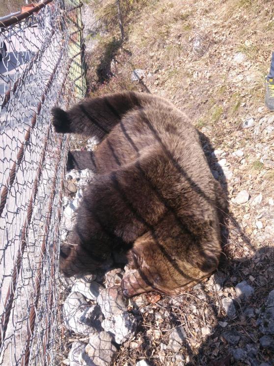 Südtirol Erneut Bär Vergiftet Wild Und Hund