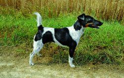 Foxterrier (Glatthaar)